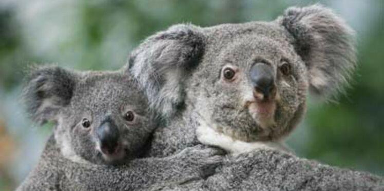 Un bébé koala au zoo de Beauval
