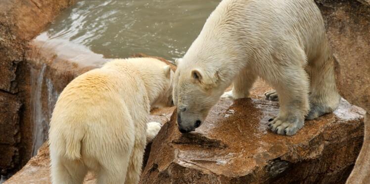 Un bébé ours polaire est né !