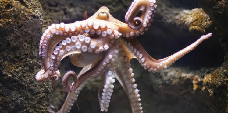 Une pieuvre s'évade de son aquarium et prend le large