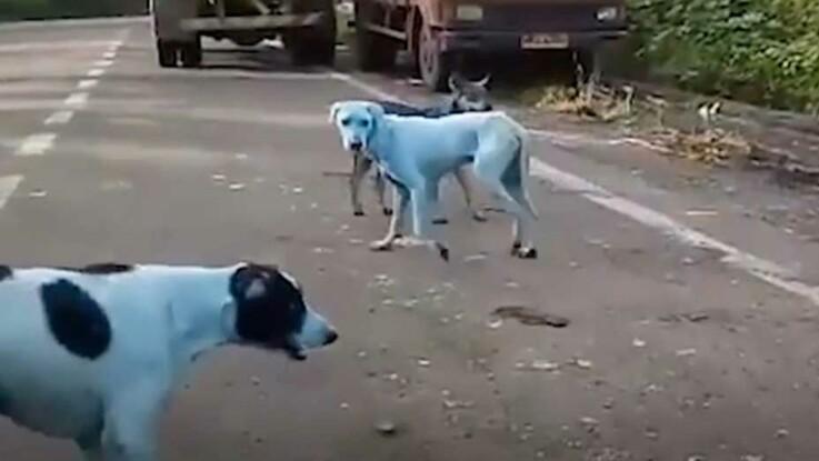 VIDEO – Des chiens errants devenus bleus à cause de la pollution industrielle