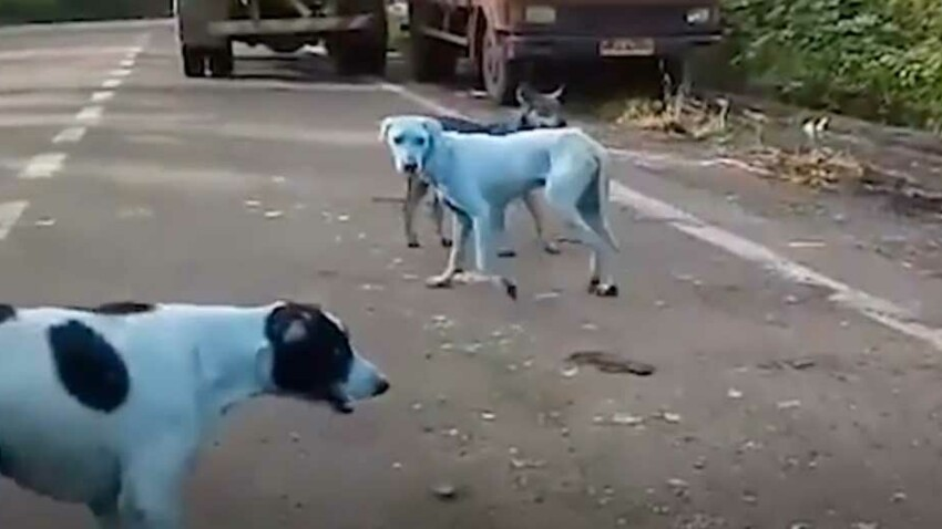 VIDEO – Des chiens errants devenus bleus à cause de la pollution industrielle