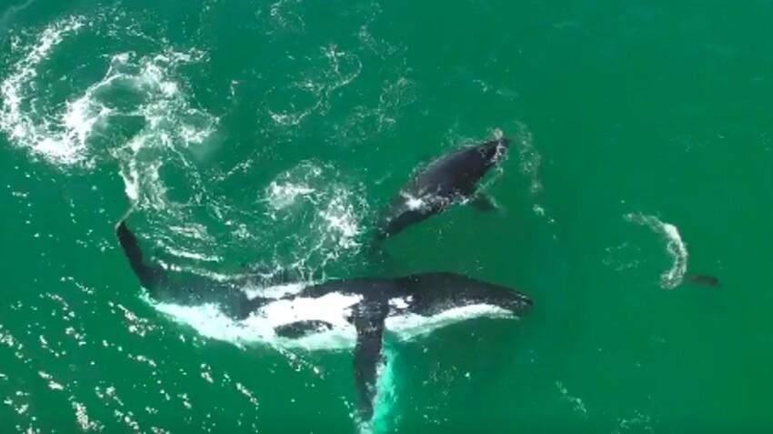 VIDEO - Quand deux baleines dansent avec un dauphin