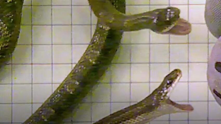(VIDEO) Quel serpent attaque le plus vite?