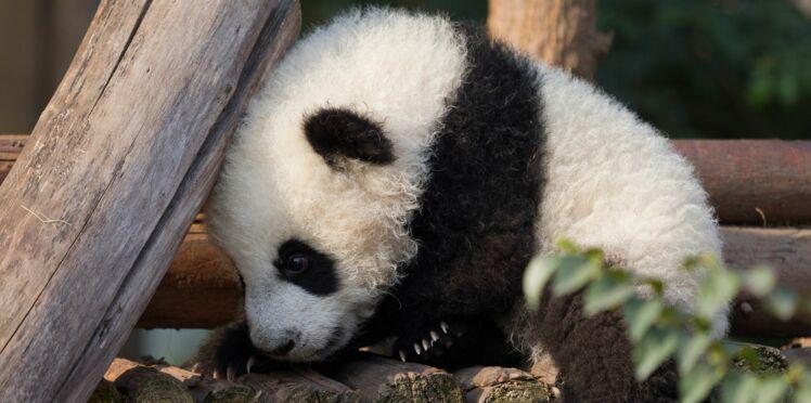 VIDEO - Un employé de zoo se déguise en panda pour s'occuper des bébés