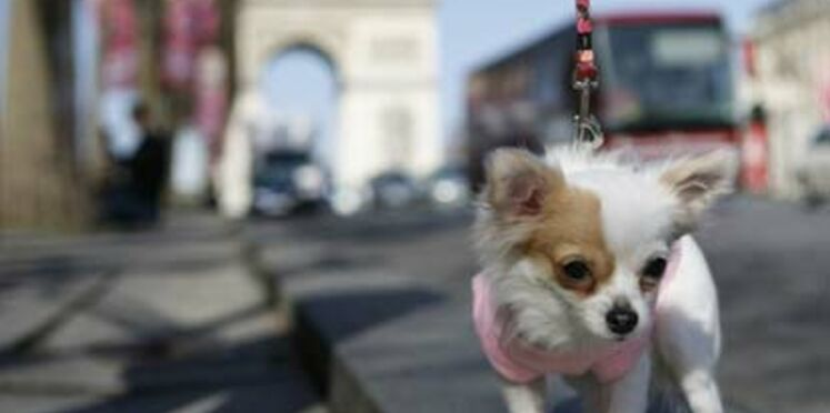 Le chihuahua de Beverly Hills