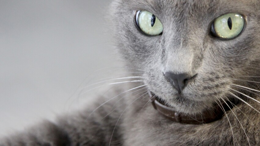 Les races de chats de A à Z