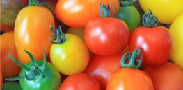 a quelle fr quence faut il arroser les tomates comment. Black Bedroom Furniture Sets. Home Design Ideas