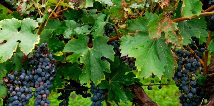 C'est l'heure des vendanges dans le Beaujolais et en Provence