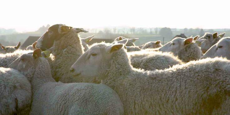 Doux comme un agneau