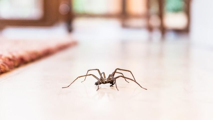 Pourquoi il ne faut pas tuer les araignées dans sa maison