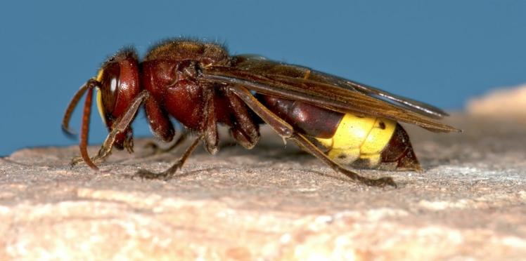 En Indre-et-Loire, une dizaine d'ados attaqués en pleine récré par un essaim de frelons asiatiques