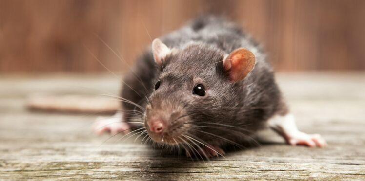 À Roubaix, une adolescente paraplégique a été attaquée par une meute de rats dans son sommeil