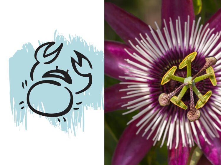 Plante Porte Bonheur la plante porte-bonheur du cancer : la passiflore : femme actuelle
