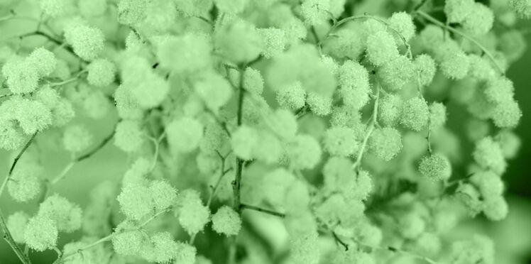 27/06-04/08 : Le mimosa, votre portrait en horoscope tahitien