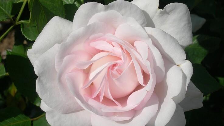 Blush, la rose du magazine Prima