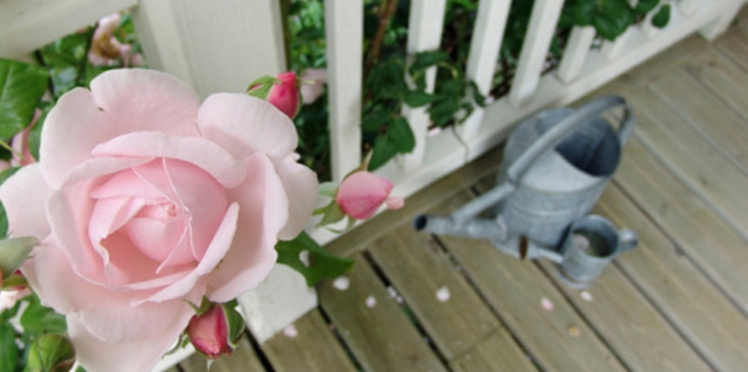 Comment cultiver ses rosiers en pot
