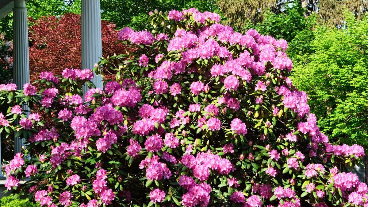 Comment Planter Du Muguet comment planter un rhododendron ? : femme actuelle le mag