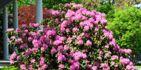 Comment planter un rhododendron ?