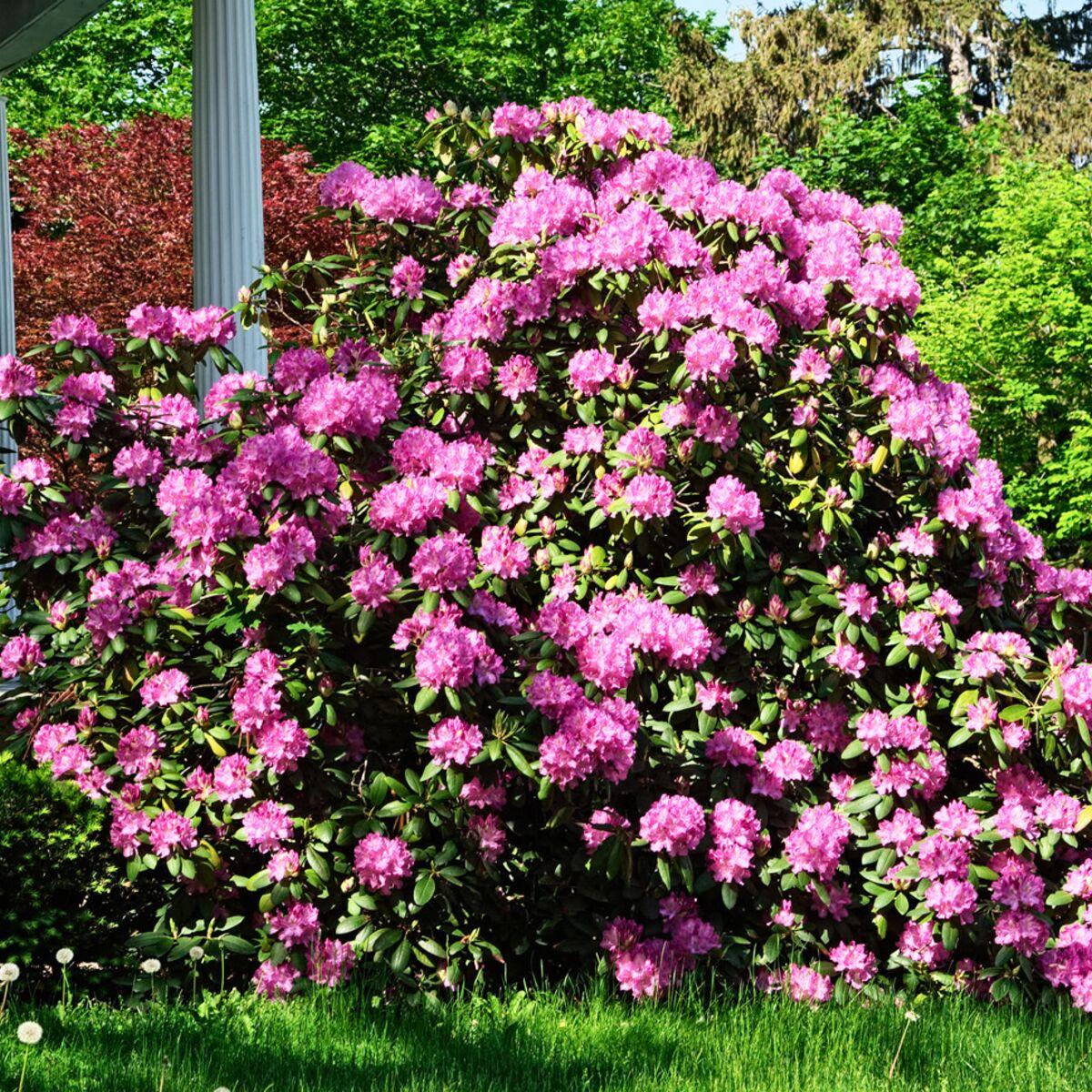 Arbuste Pour Terrain Calcaire comment planter un rhododendron ? : femme actuelle le mag