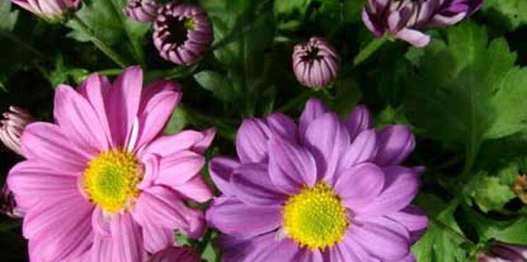 Le chrysanthème, star du jardin pendant l'automne