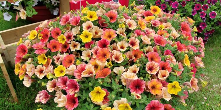 Surfinia, géranium, sedum, heuchère, aster, nepeta, des fleurs faciles