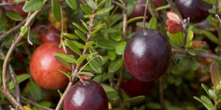 La cranberry