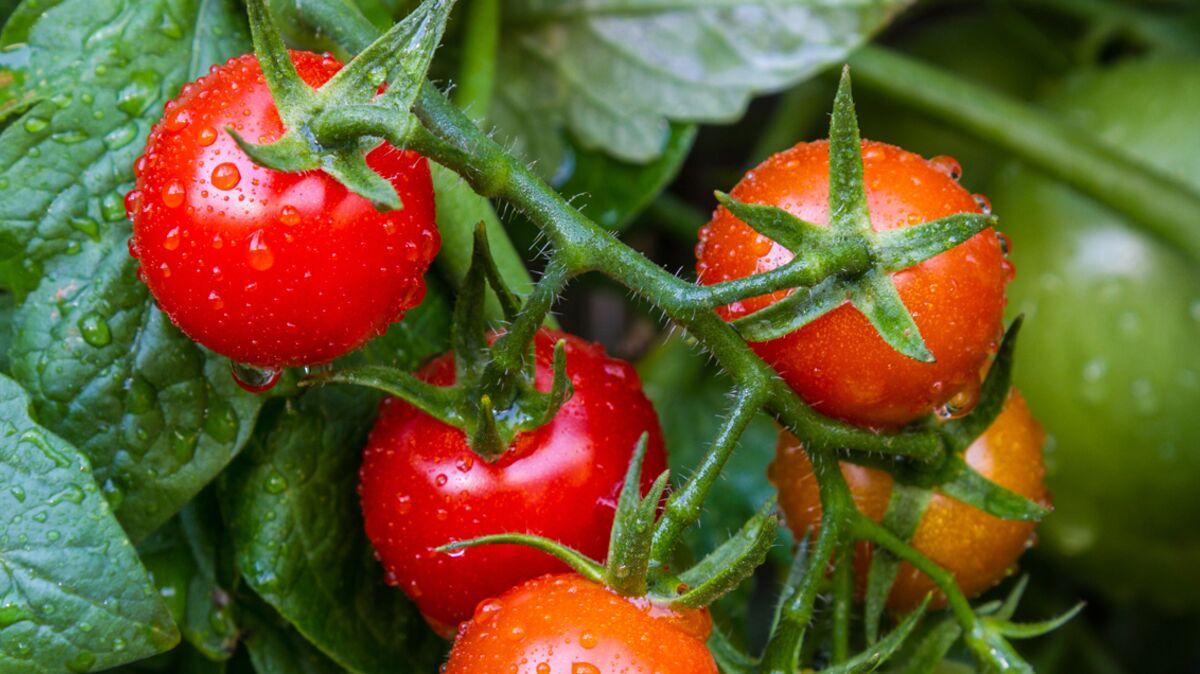 Planter Des Tomates En Pot comment bien planter ses tomates : femme actuelle le mag