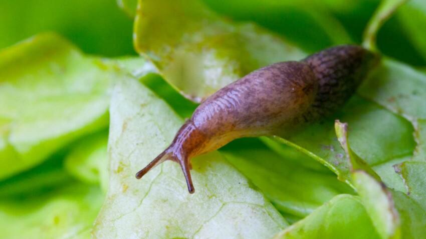 Comment se débarrasser des limaces au jardin ?