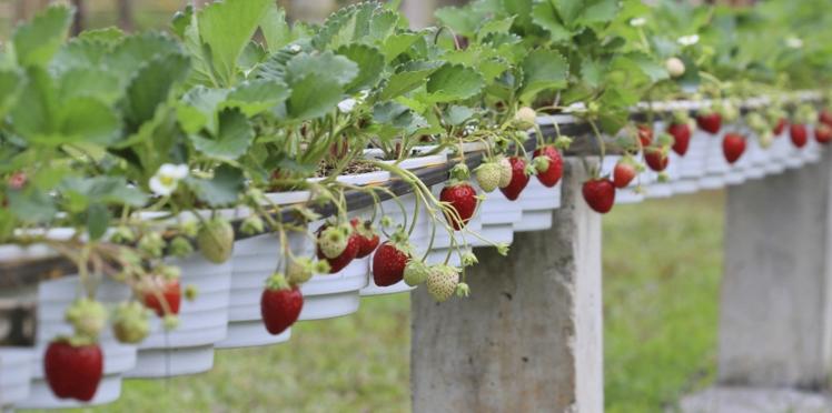 Comment multiplier vos fraisiers ?