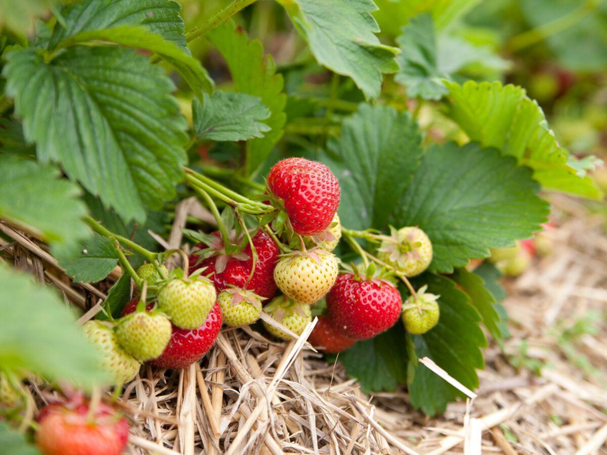 Comment Entretenir Les Fraisiers En Automne comment planter des fraisiers : femme actuelle le mag