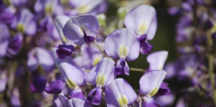 Comment planter et entretenir la glycine ?