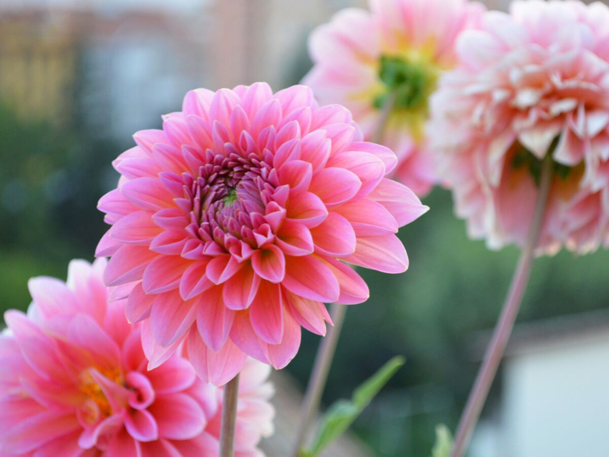 Quelles Fleurs Planter Fin Aout comment planter et entretenir un dahlia ? : femme actuelle