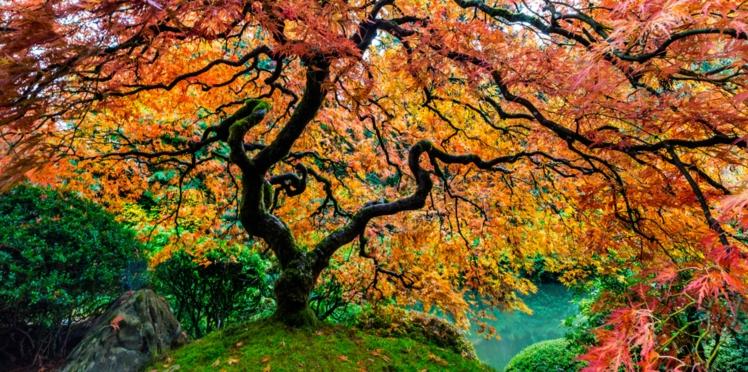 Comment planter et tailler un érable du Japon ?