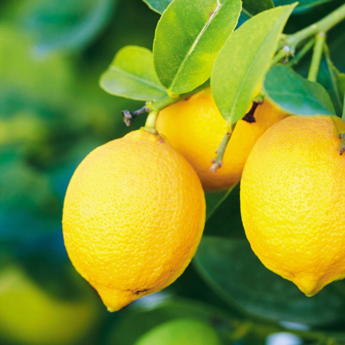 Comment Cultiver Un Citronnier En Pot comment planter un citronnier ? : femme actuelle le mag