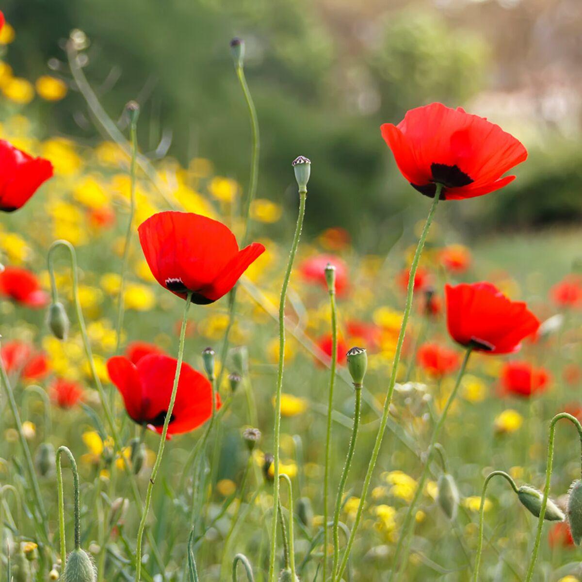 Planter Des Coquelicots Dans Son Jardin comment semer une jachère fleurie