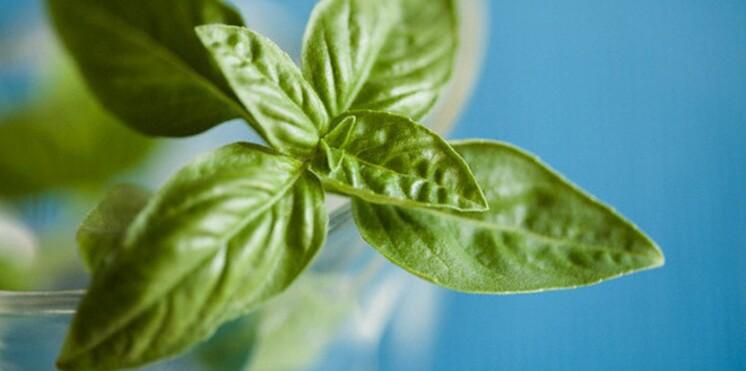 Comment cultiver et conserver du basilic ?