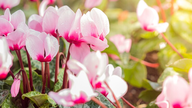 Cyclamens : 5 idées de jardinières pour l'automne