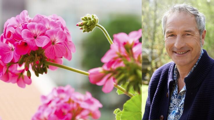 Géraniums, pelargoniums, ce qu'en dit Stéphane Marie