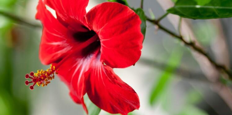 Hibiscus : 5 conseils d\'entretien : Femme Actuelle Le MAG