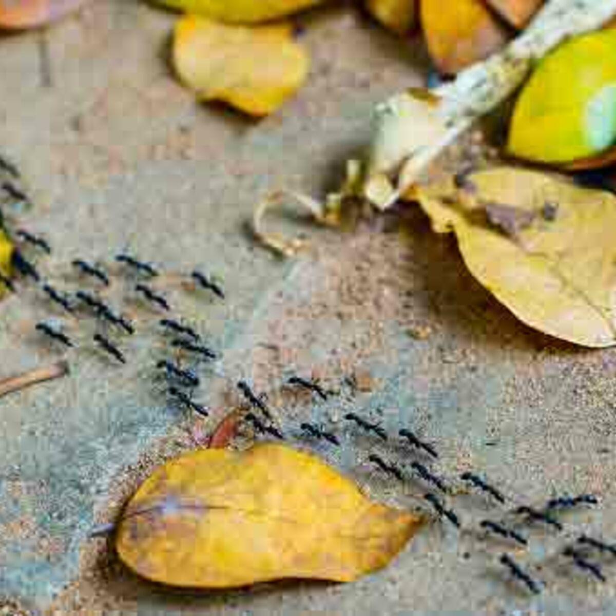Eloigner Les Fourmis Au Jardin jardin : 10 anti-fourmis naturels et efficaces : femme