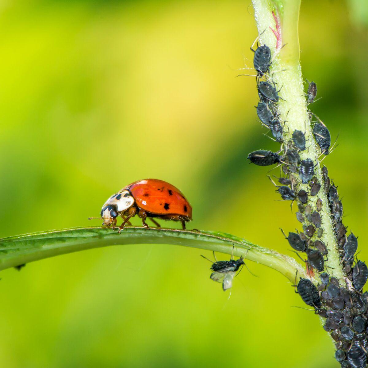 Astuces Naturelles Pour Se Débarrasser Des Fourmis nos astuces naturelles pour se débarrasser des pucerons
