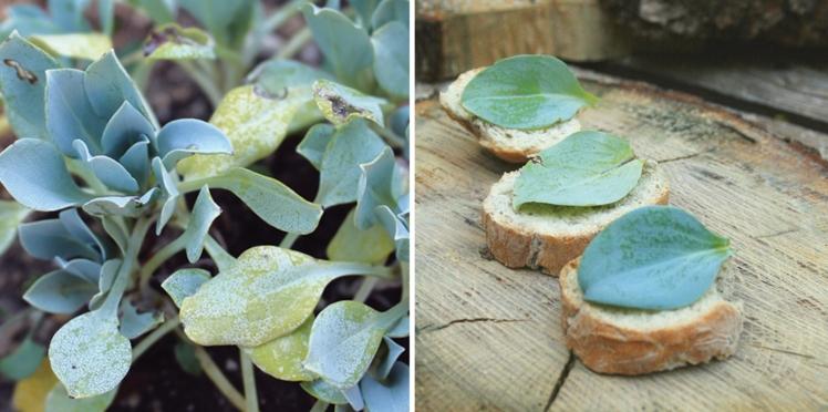 Plante vivace : la Mertensie ou plante-huître