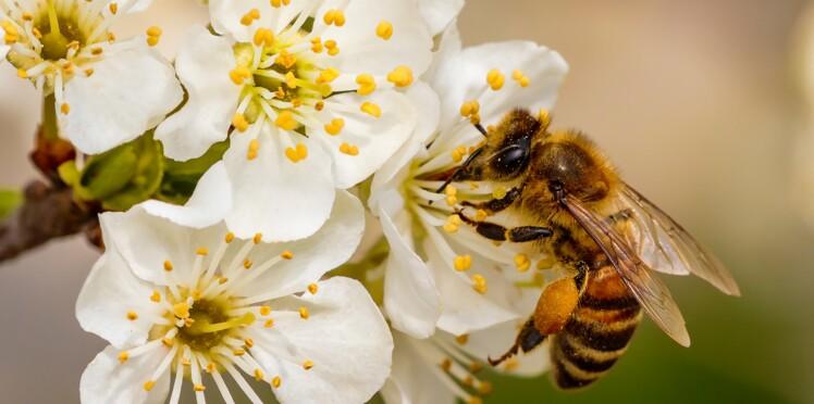 Quelles plantes mellifères faut-il cultiver pour aider les abeilles au jardin ?