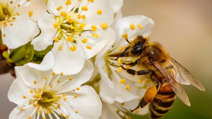 Quelles sont les plantes à privilégier pour aider les abeilles au jardin ?