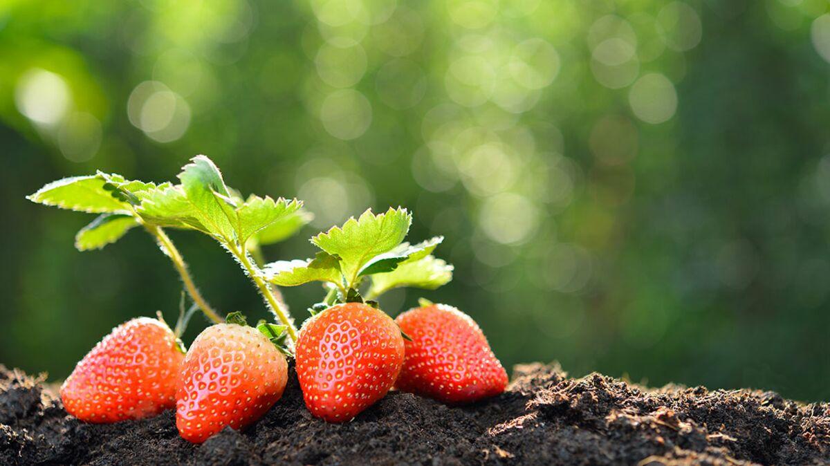100 Fantastique Suggestions Quand Planter Des Fraises En ...