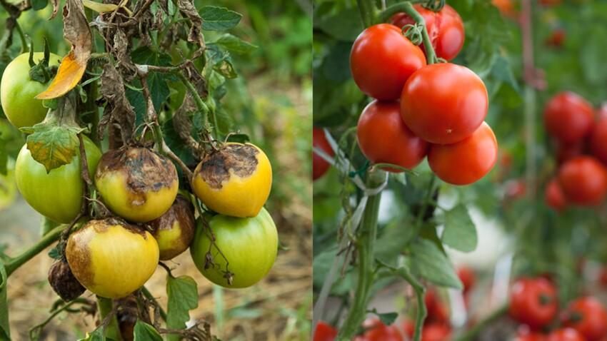 Traitements bio contre le mildiou de la tomate