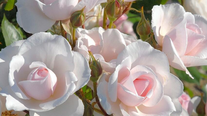 Vidéo : comment planter un rosier