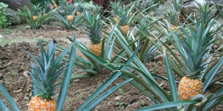 Ananas de Bretagne : à déguster au Tropical Parc !