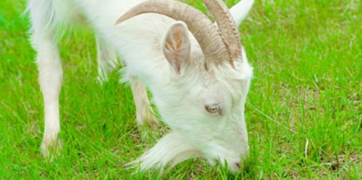 Des chèvres pour tondre la pelouse !