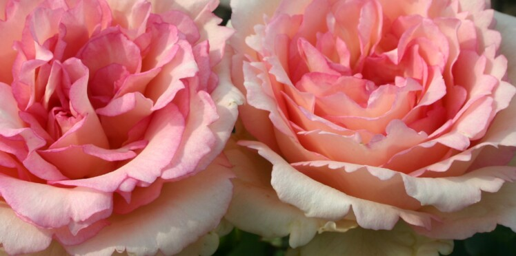 Des rosiers écolos et parfumés